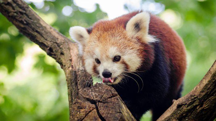 Панда малая