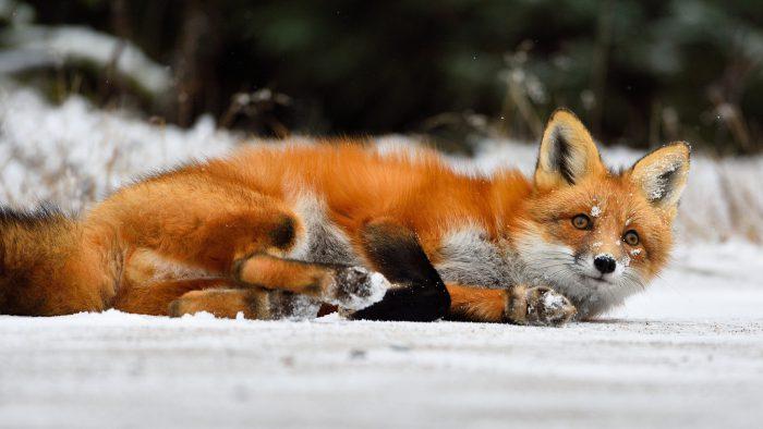 Лиса (Рыжая лисица)