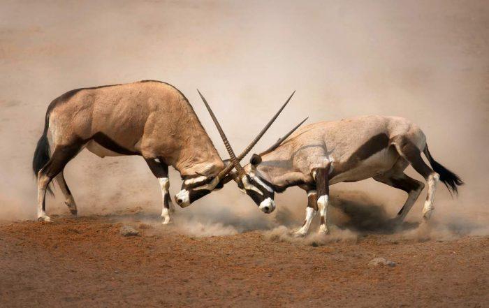 Поединок антилоп ориксов