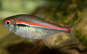 Хифессобриконы (Hyphessobryсon)