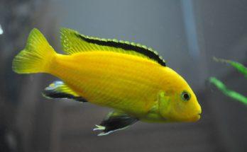 Лабидохромисы (Labidchromis)