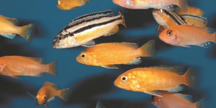 Стайка лабидохромисов в видовом аквариуме