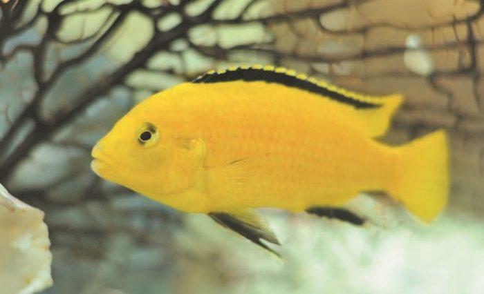 Самец лабидохромиса желтого