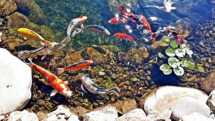 Карпы кои в пруду города Нагоя, Япония