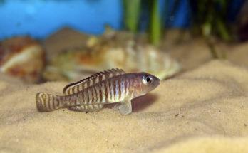 Лампрологус глазчатый (Nneolamprologus ocellatus)
