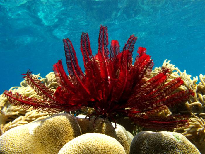 Стебельчатая морская лилия