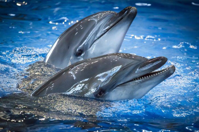Дельфины афалини