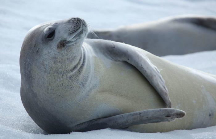 Антарктический тюлень-крабоед