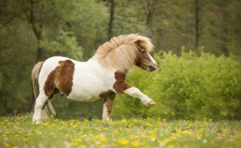 Пони лошадь
