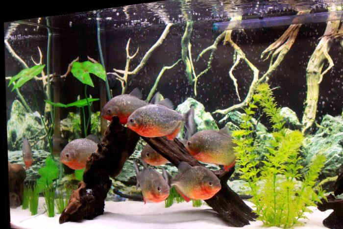 Видовой аквариум с пираньями