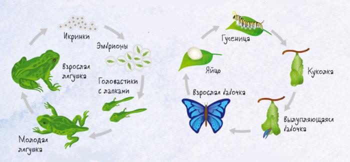 Жизненный цикл лягушки (слева) и жизненный цикл бабочки