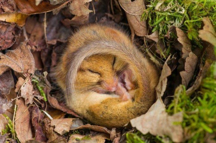 орешниковая соня в спячке