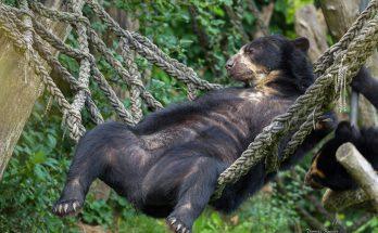 медведь на гамаке