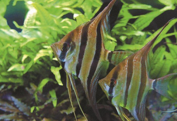 Скалярии могут служить своеобразным «дисциплинирующим фактором» для маленьких стайных рыб