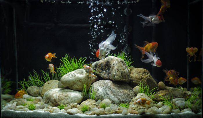 Дизайн аквариума с золотыми рыбками в стиле минимализма