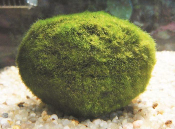 Cladophora (Кладофора)