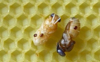 Трутневые личинки