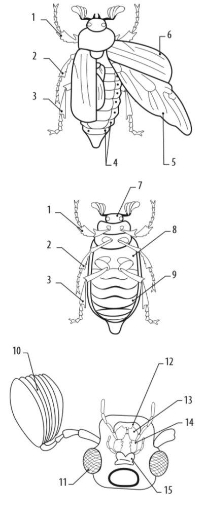 Майский жук (вид сверху, снизу, строение головы)