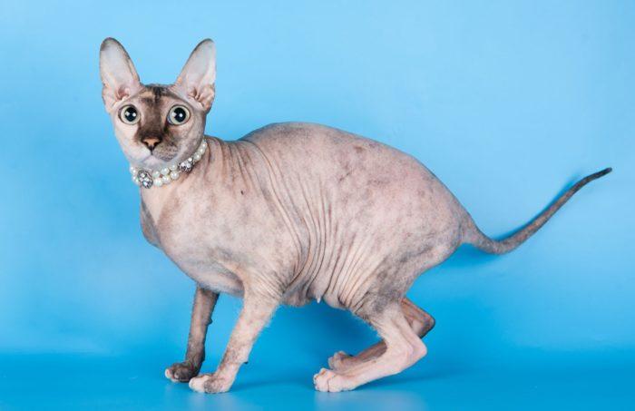 Текст про породы кошек