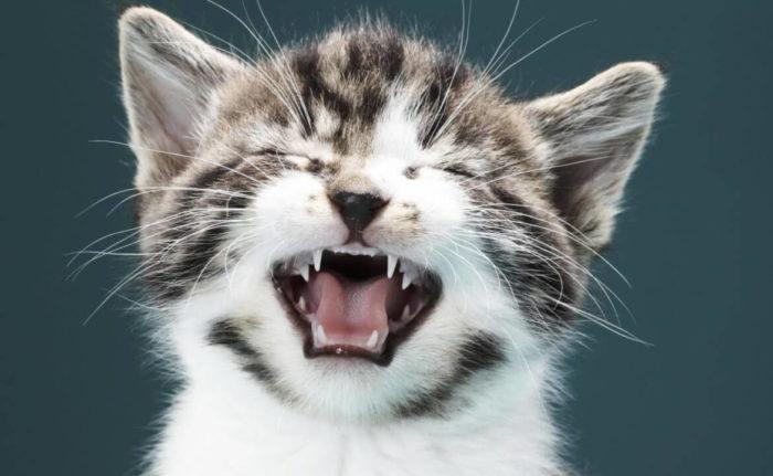 общительная кошка