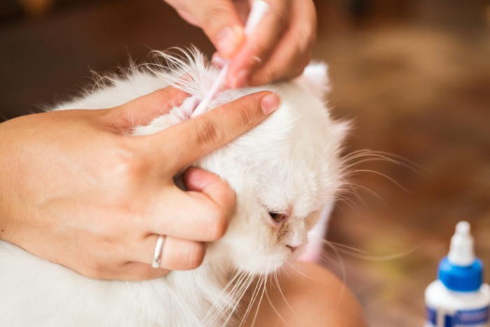 чистка ушей у кошек