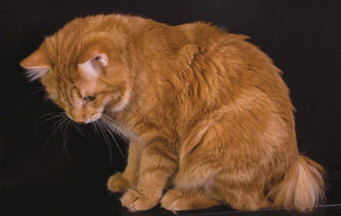 короткохвостая кошка