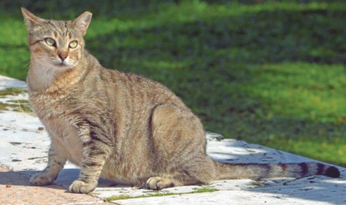 кошка с ложной беременностью
