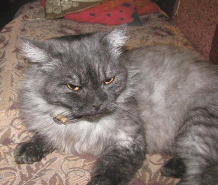 кошка в противоблошином ошейнике