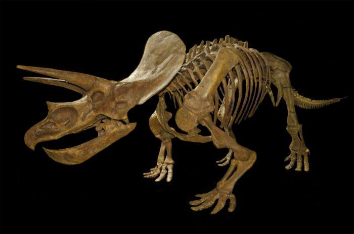 Скелете зуницератопса