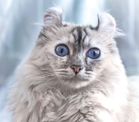 кошка с нестандартной формой ушных раковин
