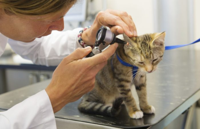 ветеринар смотрит уши кошки
