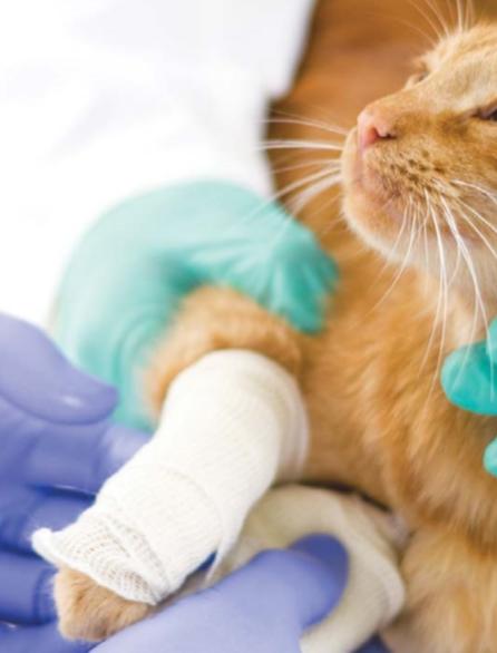 Гнойное воспаление у кошки