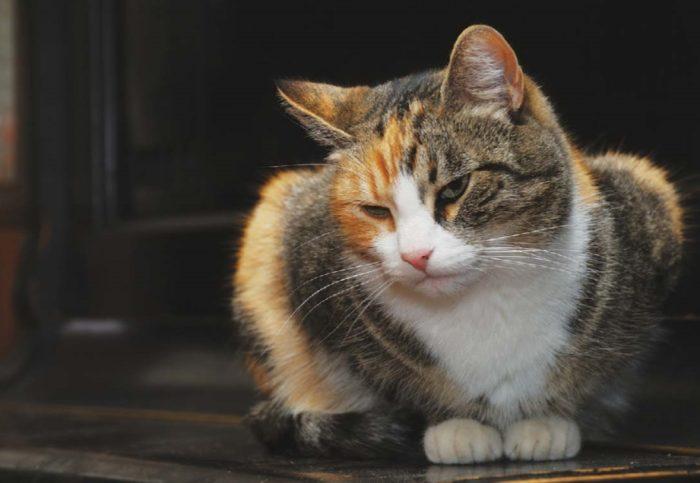 Остеомиелит у кошки