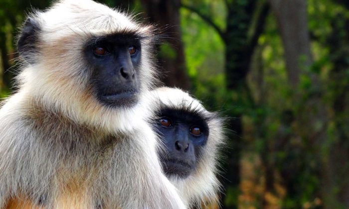 гульман обезьяна