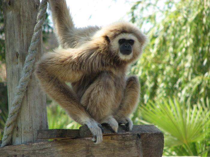 лар обезьяна