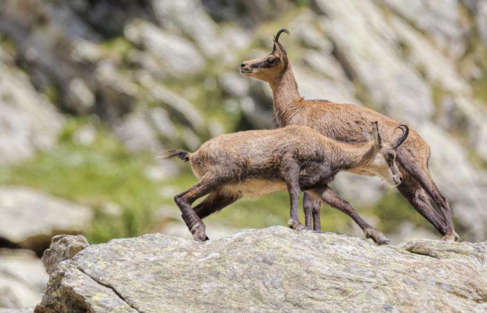 Фауне высокогорий
