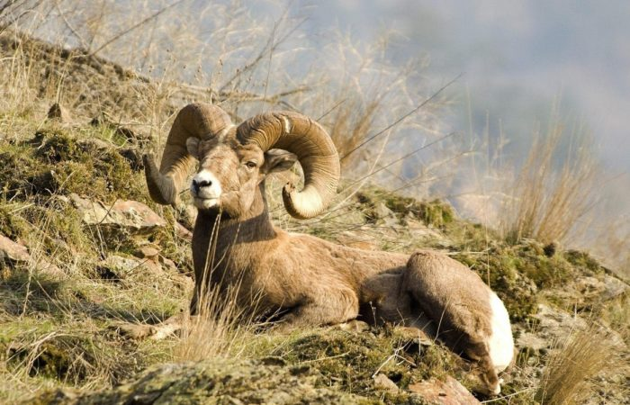Горные бараны и козлы