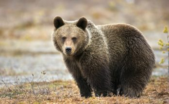 Медведи Евразии