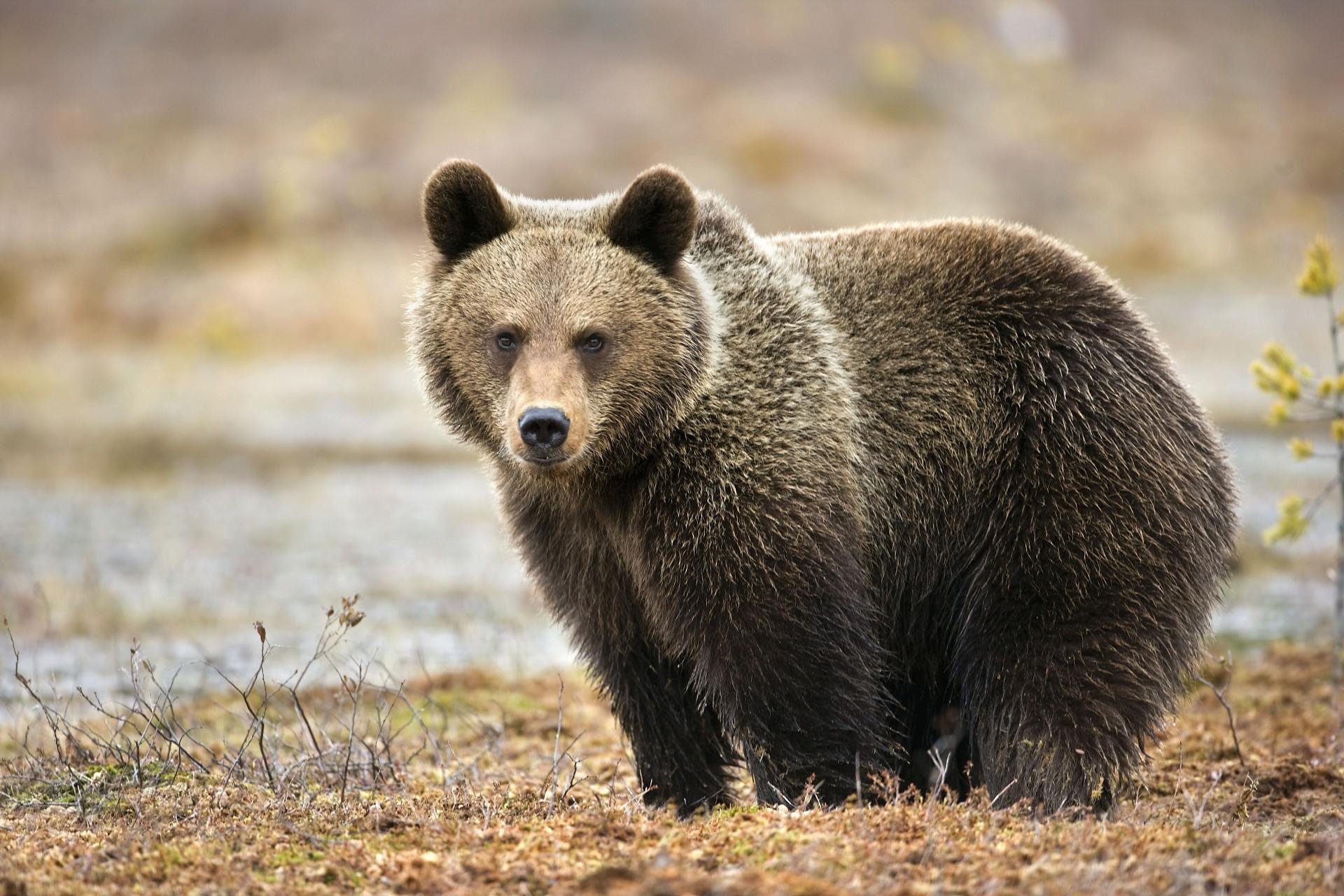 живут ли белые медведи в евразии