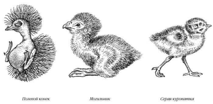 Однодневные птенцы различных птиц