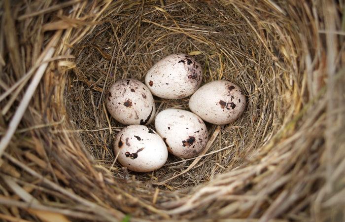 Промысел пуха и птичьих яиц