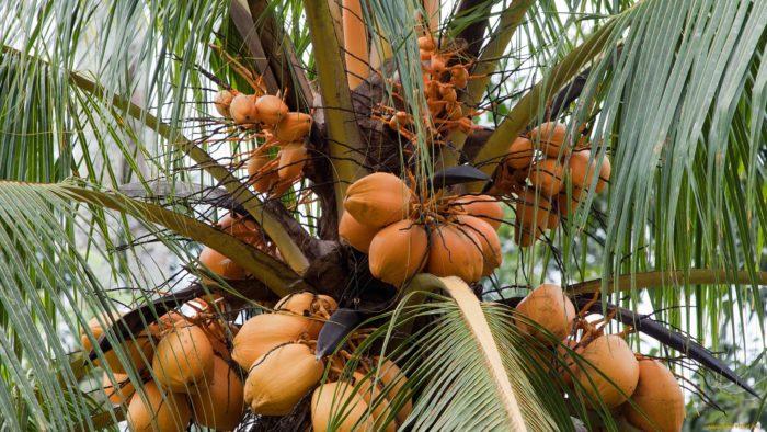 Где и как растут кокосы; Орех Эксперт