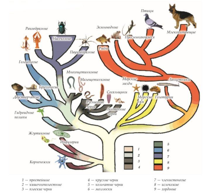 Схема развития животного мира