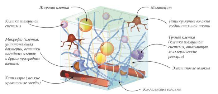 Соединительная ткань многоклеточных живых