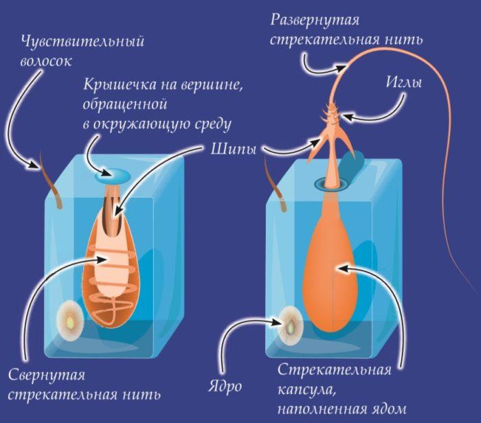 Механизм работы стрекательной клетки