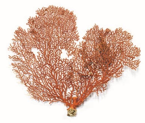 кустистый коралл