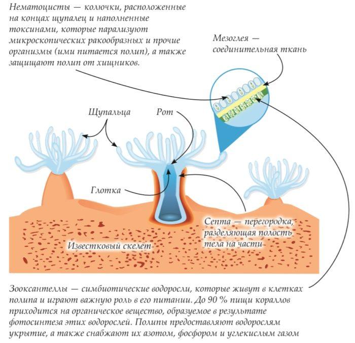 Строение коралла