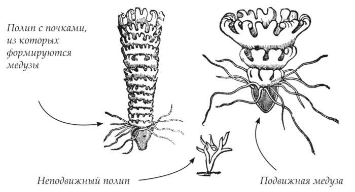 Жизненный цикл медузы аурелии
