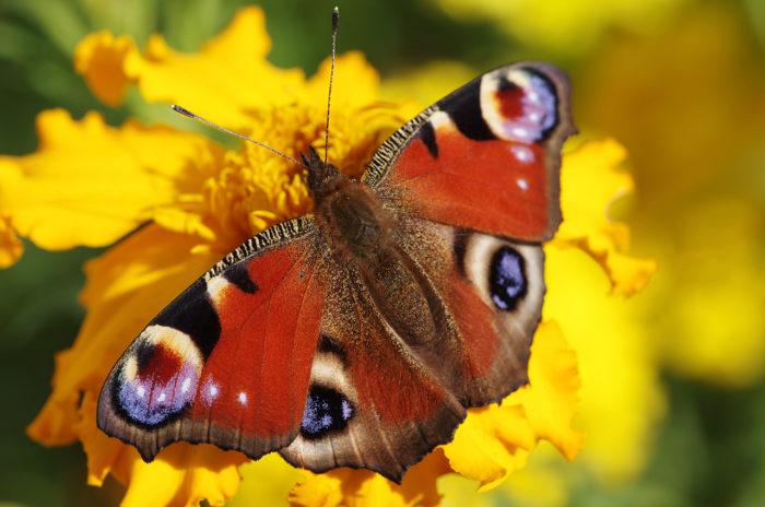Дневная бабочка павлиний глаз