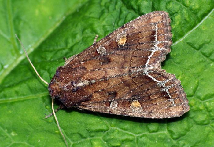Ночная бабочка совка капустная